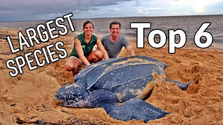 Top 6 Largest tortoise species on Earth