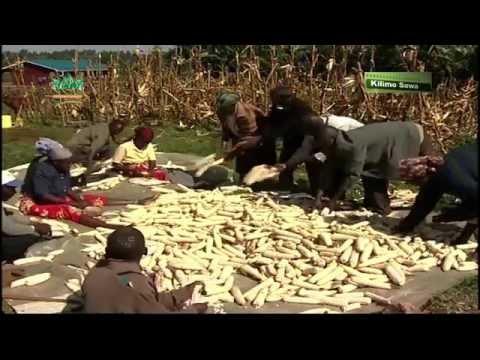 Kilimo sawa: Ukulima Bora wa Mahindi