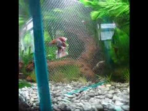 Divided Aquarium (male halfmoon betta's)