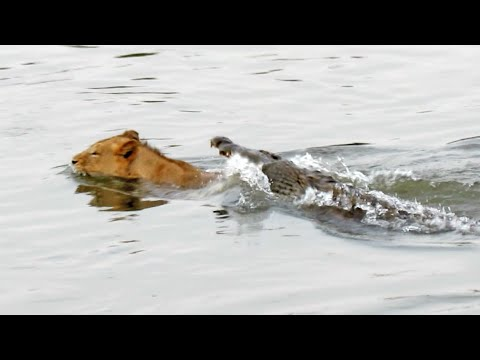 Wildlife - Amazing video of a young male lion crossing the sabie river when a crocodile suddenly decides to attack! Taken on the H10 bridge near Lower Sabie in the Krug...