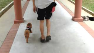 Amber Toy Poodle - Off Leash Training 1