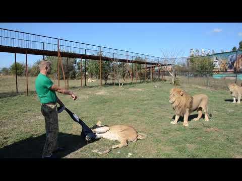 Львица пыталась отжать одежду посетителей Тайган