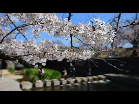 夙川の桜輝く 西宮
