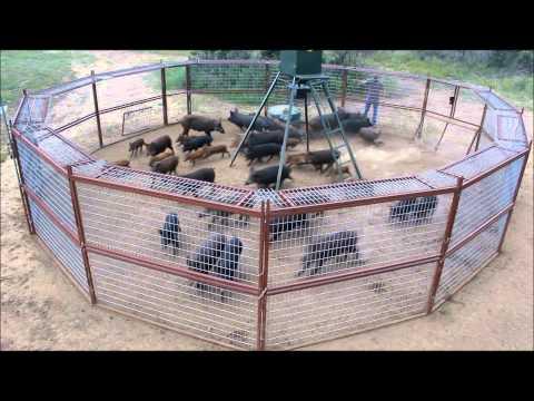美國農民用高科技陷阱 一夜捕獲大批野豬