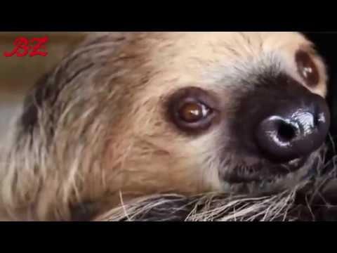 Berlin: Zoo Berlin - Nicht ganz so träge - Faultier ver ...