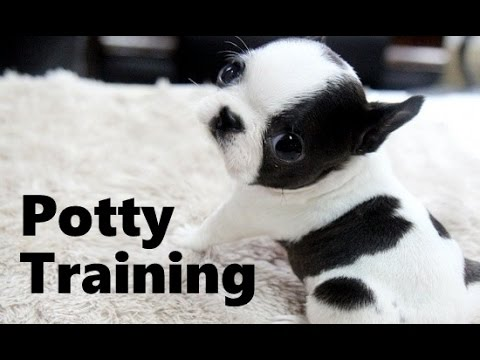 How To Potty Train A Boston Terrier – Boston Terrier Potty Training Tips – Boston Terrier Puppies