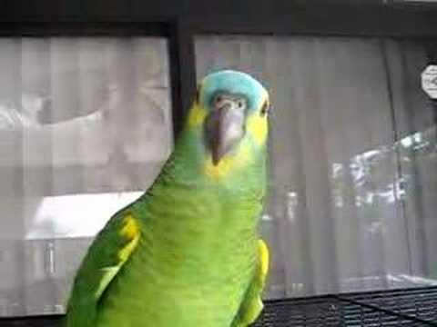 Audi Murphy Blue Front Amazon Parrot 4