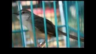 Download Video Burung ciblek gunung full ngeroll panjang Imoet CPT Indra W di omkicau com MP3 3GP MP4