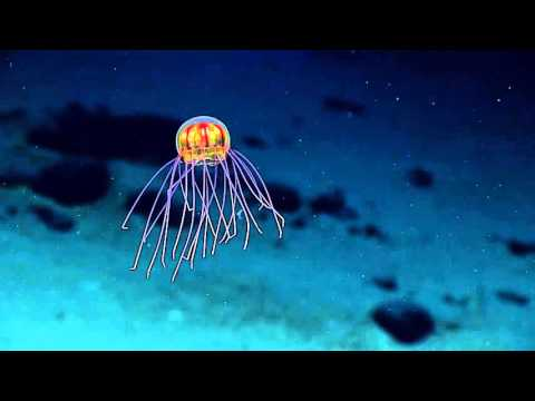 Alien-like jellyfish caught on camera near the Mariana Trench.