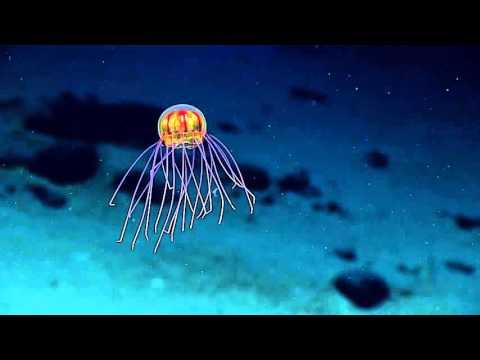 NOAA ontdekt alien-achtige kwal in de mariannetrog