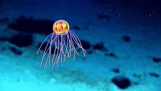 New Jellyfish Discovered!
