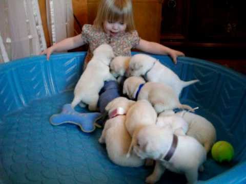 White Lab puppies & little girl in a pool