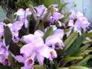 Una planta de catleyas con más de 40 flores, al lado hay otra con más de 25 pero aún no floreaban a toda su capacidad cuando tomé el video, también bonsáis de ficus y acacia.