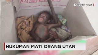 Video Hukuman Mati Orangutan; Nasib Orangutan di Kalimantan MP3, 3GP, MP4, WEBM, AVI, FLV Juli 2018