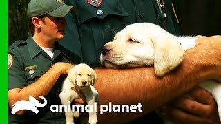 Golden Retriever Puppy Becomes Officer's Canine Partner | North Woods Law by Animal Planet
