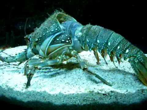 難得一見的龍蝦脫殼!