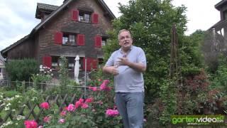 #1211 Englische Strauchrose Sophys Rose