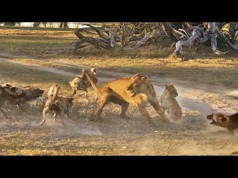 אין כמו אמא: לביאה נלחמה בלהקת כלבי פרא והצילה את הגור שלה