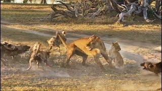 「早く逃げて!走りなさい!」子供を守りつつリカオンの群れと闘うメスライオン
