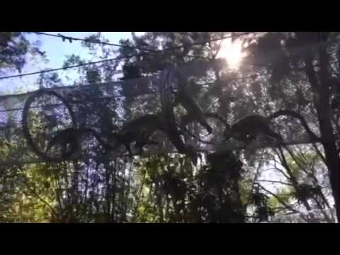 Lémures cola anillada en los Senderos Aéreos de Monkeyland
