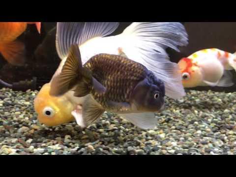 【金魚】黒らんちゅうと江戸錦追加 過密金魚水槽 60cm goldfish tank