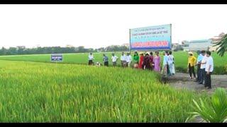 Tổng kết mô hình sản xuất thử giống lúa chất lượng cao ĐT100