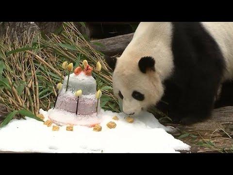 Berlin: Berliner Zoo - Geburtstagstorte für Panda Jia ...