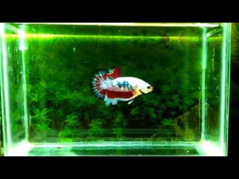 Download Video Ikan Cupang Hias Fancy Plakat