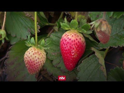 Milde Witterung: Die Erdbeersaison geht in die Verl ...