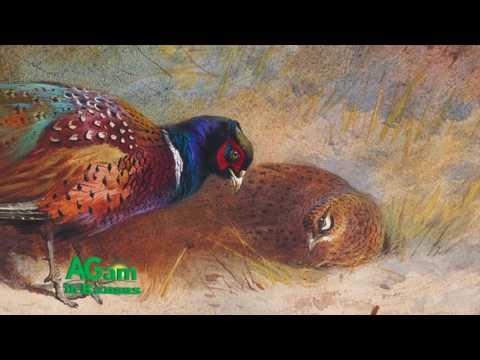 Around Kansas - Pheasants in Kansas - November 9, 2016