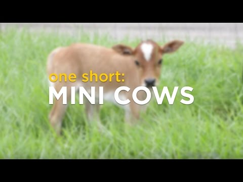 "TIL ""miniature cows"" are a thing, and they are extraordinarily cute."