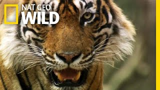 Even Tigers Must Battle For Food | Nat Geo Wild by Nat Geo WILD