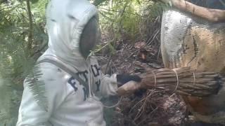 Pengambilan madu 234 hutan incasiraya lembah raja cobra
