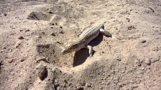 Eddie Lizzard tame Qatar desert lizard or Sand Gecko