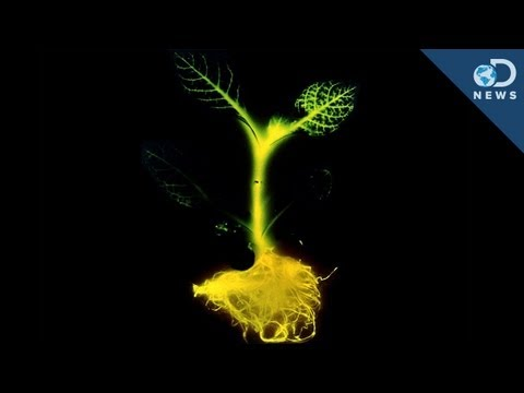 glowing - If you thought glowing plants were science fiction from Pandora... you're wrong! Scientists in San Francisco have created plants that glow brightly enough to...