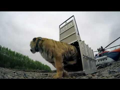 Тигра Владика выпустили на просторы национального парка - DomaVideo.Ru