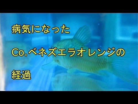 【Aquarium】#006:病気のコリドラスの経過