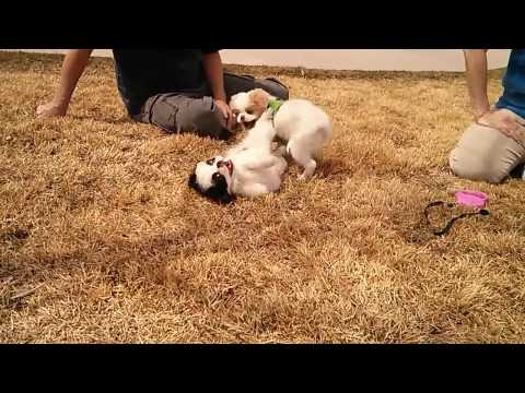 japanese chin puppies playing in colorado