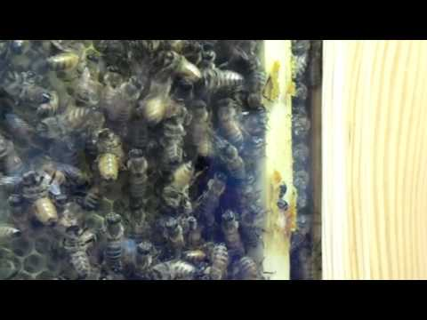 Urban Beekeeping: Observation Hive, with Hive Beetles!!! Are They Corralled?