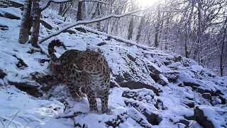 Редкое видео дальневосточного леопарда