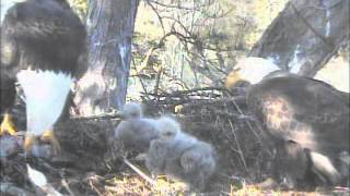 Nice evening feeding of the two Harrison Bay Eagle Cam Project eaglets with all the family in attendance.
