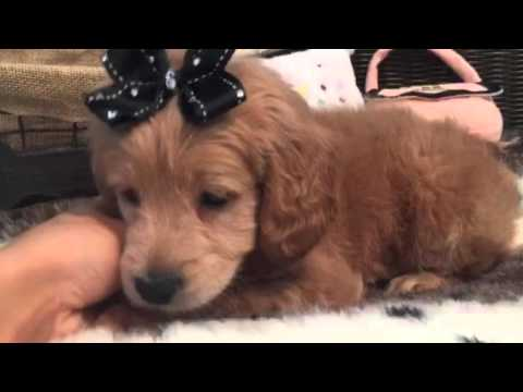 Mini Goldendoodle!! One lovable puppy!