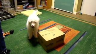 Miniature Poodle Puppy At 13 Weeks Clicker Training