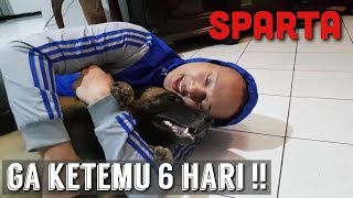 Video MENGHARUKAN!! REAKSI SPARTA SETELAH DITINGGAL 6 HARI! | SPARTA THE BELGIAN MALINOIS MP3, 3GP, MP4, WEBM, AVI, FLV Februari 2019