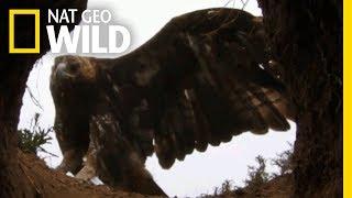 For Golden Eagles, Urine Shows Them the Way | Nat Geo Wild by Nat Geo WILD