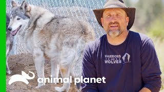 Moving Two Adorable Wolves Into A New Enclosure | Wolves and Warriors