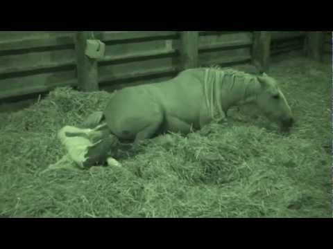 Video Horse Foaling, Cob Mare Giving Birth, Coloured Foal Being Born download in MP3, 3GP, MP4, WEBM, AVI, FLV January 2017