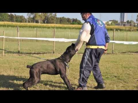 Accoppiamento accoppiamento cane corso