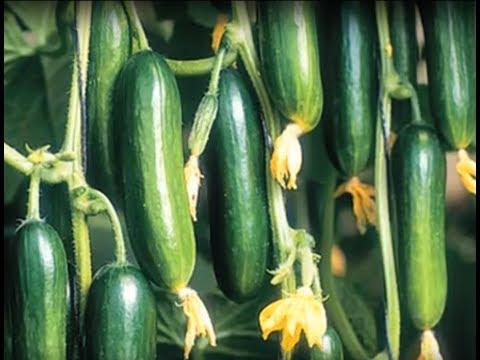 Gaon Kisan - बेल वाली सब्ज़ियां