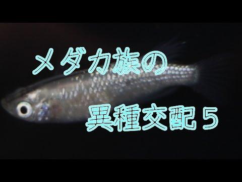 メダカ族の異種交配5ラメ幹之/medaka